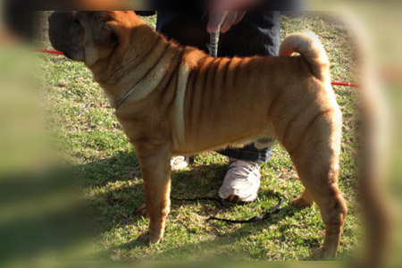 mr.big sharpei